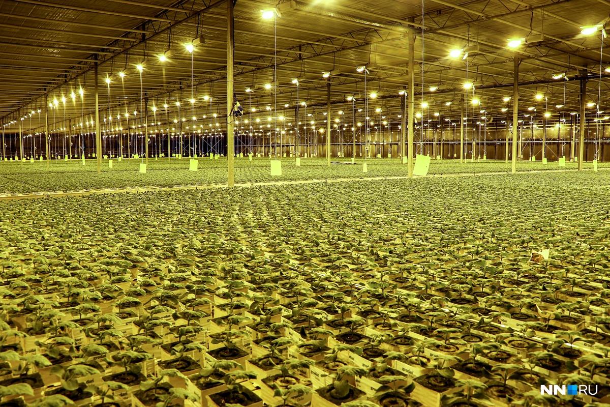Необычайное производство овощей открыли наАгрокомбинате «Горьковский» вНижнем Новгороде