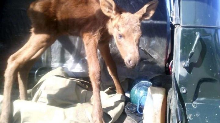 «Ходил за нами, как собачонок»: в Омской области выкормили одинокого лосёнка