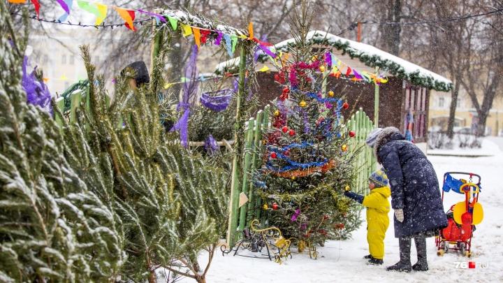 «Ставить живые ёлки — это варварство»: ярославцы осудили чиновников, спиливших 50-летнее дерево