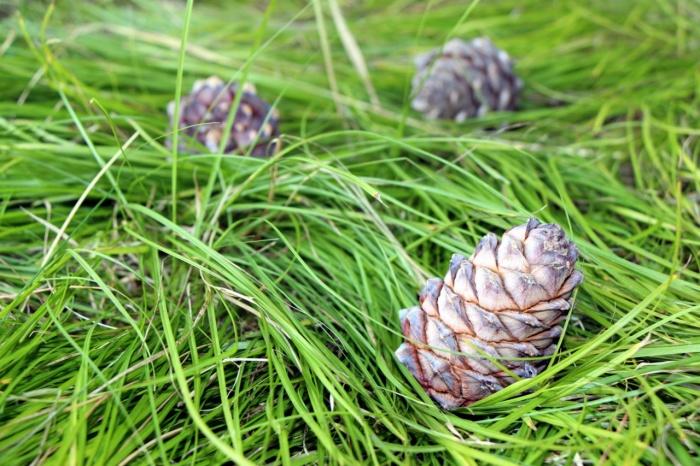 Собирать кедровые орехи можно будет с 25 августа