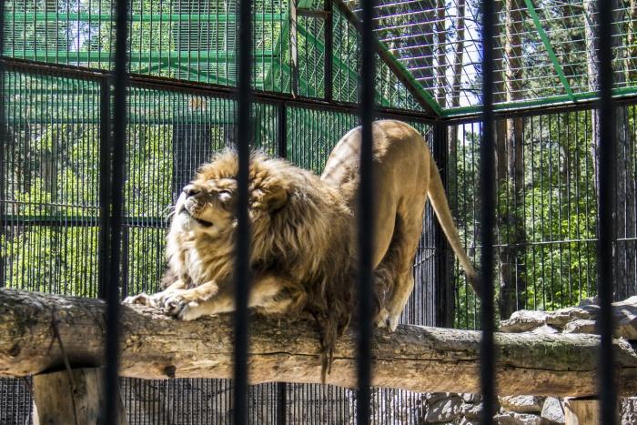 В новом вольере для африканских львов будет ручеёк с водопадом