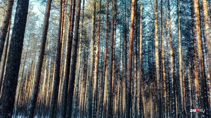 Заготавливал дрова: в Холмогорском районе мужчину насмерть придавило деревом
