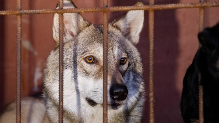 «Ты домашний, а они дикие»: хозяин волка в Волгограде попросил разобраться с собаками