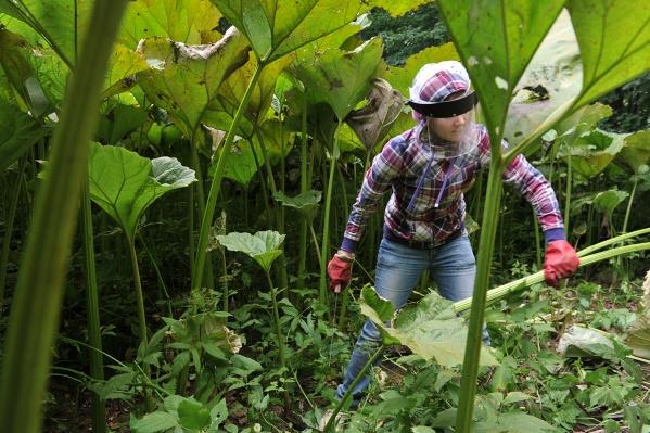 Новосибирцам советуют быть осторожнее в разгар цветения борщевика