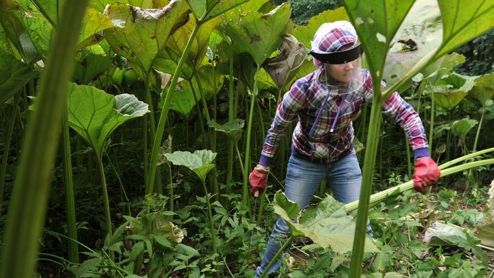 Трава-убийца: три новосибирца попали в больницу после контакта со жгучим растением