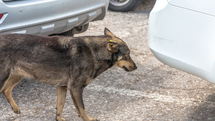 В Тольятти возбудили уголовное дело из-за нападения бездомных собак на людей
