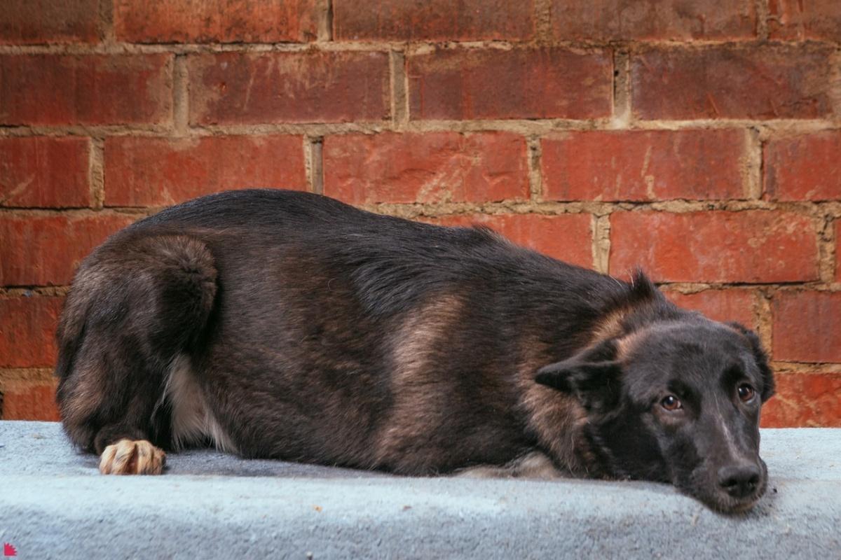 Собака по кличке Комарова