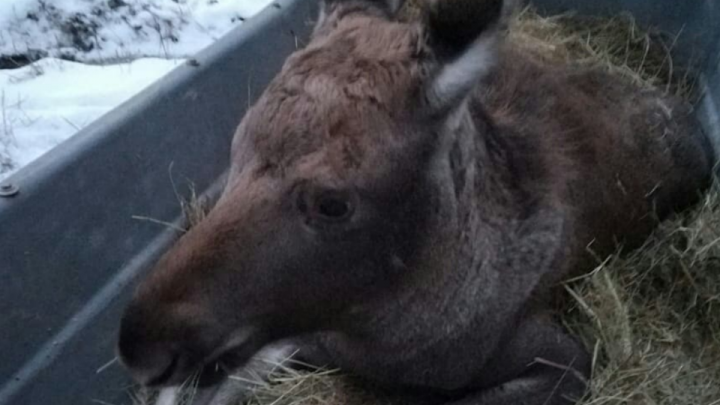 «Операцию проводили прямо в лесу»: уфимские ветеринары спасли лосенка