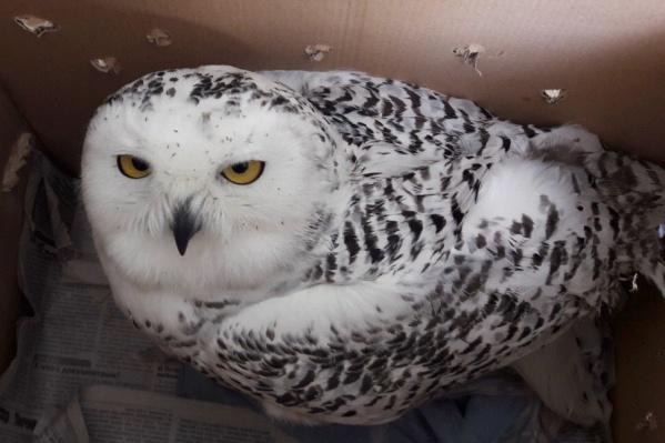 Одну из птиц, которая поступила к волонтёрам из Кемерово, ждут операция и долгий восстановительный период