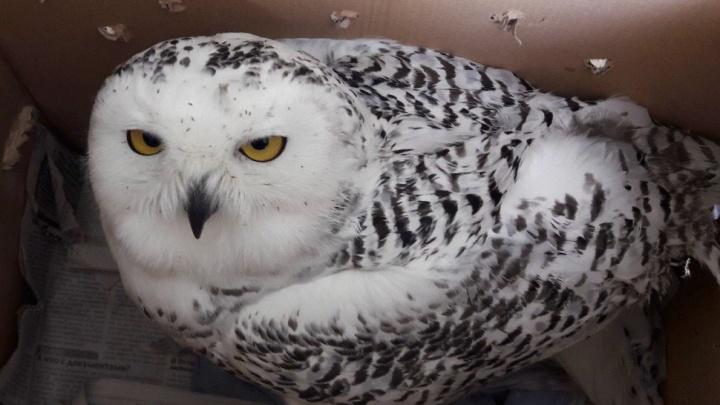 Собрали джекпот из полярных сов: новосибирские волонтёры получили трёх раненых редких птиц