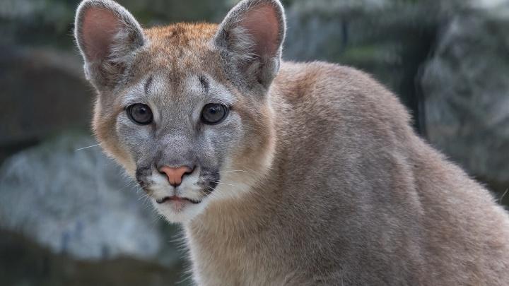 Котик вырос: НГС публикует фото подросшего котёнка пумы из зоопарка