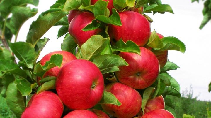 Сладкий «Гусар» и «Московское ожерелье»: челябинцам покажут лучшие сорта малины и яблонь