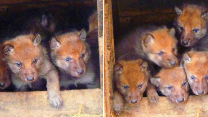 В Большереченском зоопарке родились пятеро волчат