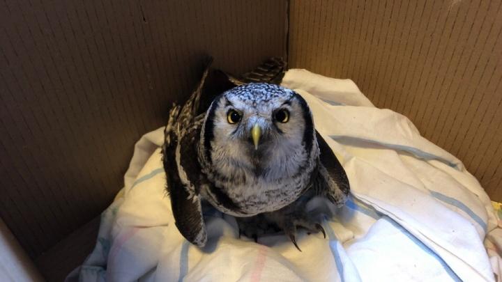 В Новосибирск привезли подстреленную ястребиную сову и пытаются её спасти