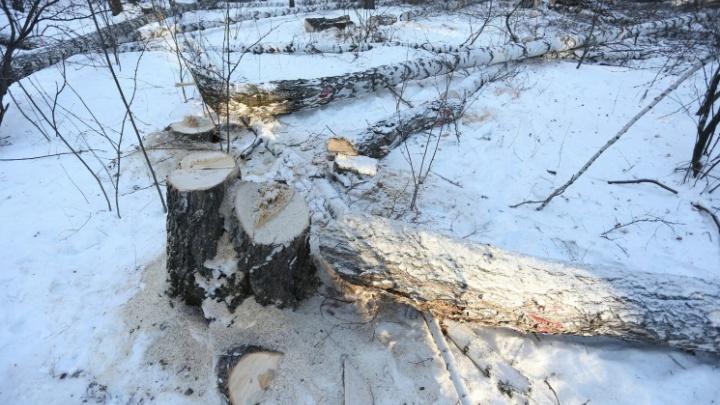 «Наплевали на нас»: эксперты подтвердили, что в челябинском сквере срубили десятки здоровых деревьев