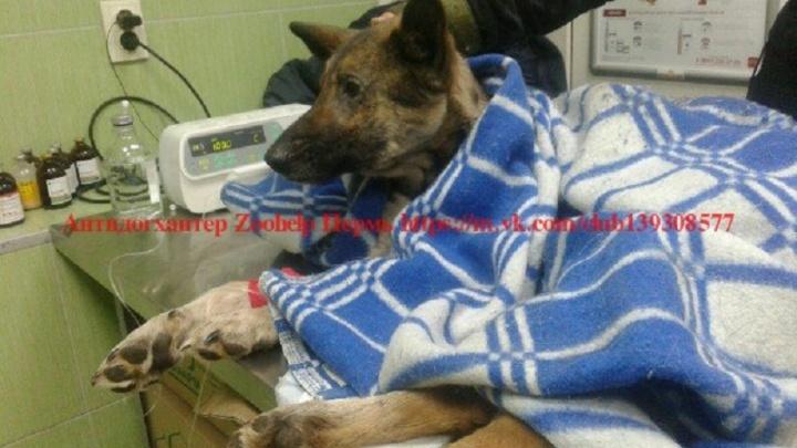 «Ее тело вросло в лед»: в Прикамье спасают собаку, которая шесть дней пролежала у трассы