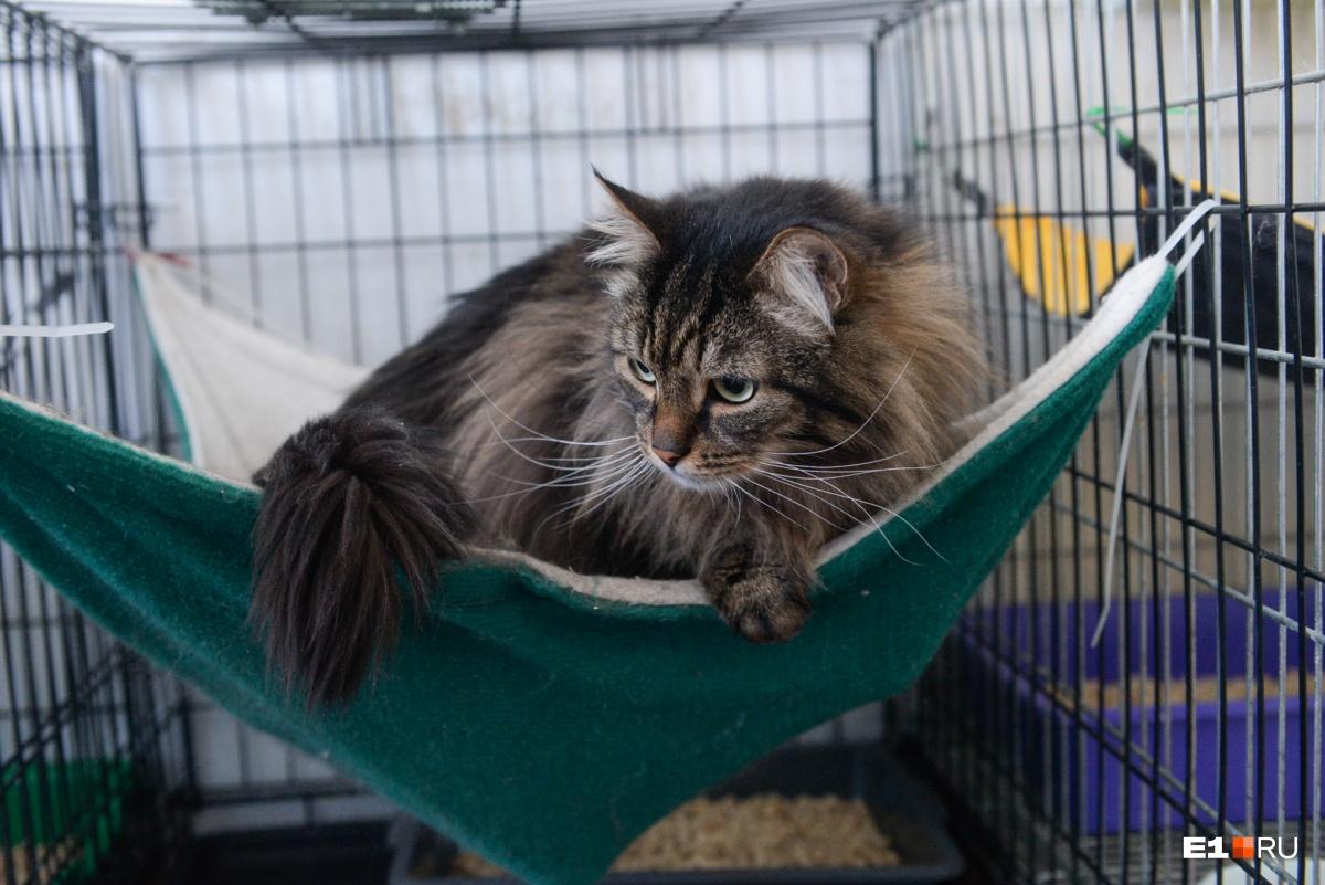 Маркер — роскошный крупныйпушистый кот