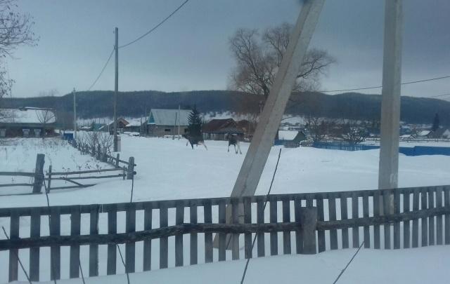 Видео: в Башкирии дикие лоси носились по деревне