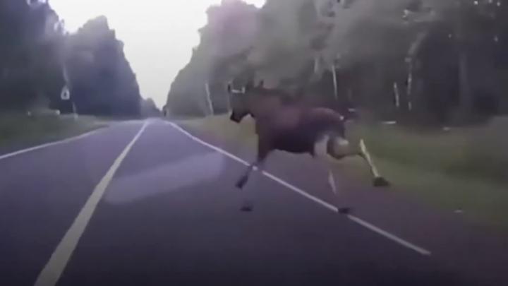 В Ярославской области водитель чудом ушёл от столкновения с лосем