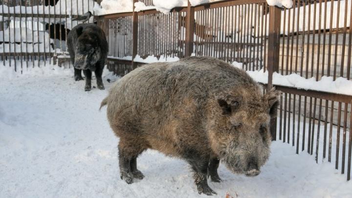 Башкирские браконьеры, убившие кабанов, лишились ружья и снегохода