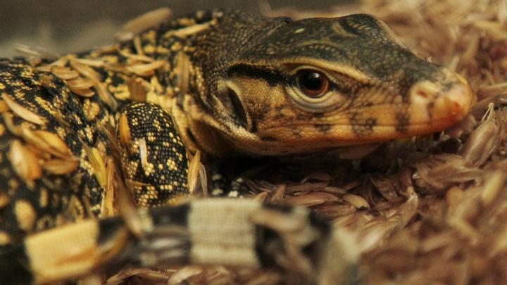 Уникальный случай: в зоопарке Екатеринбурга родился полосатый варан