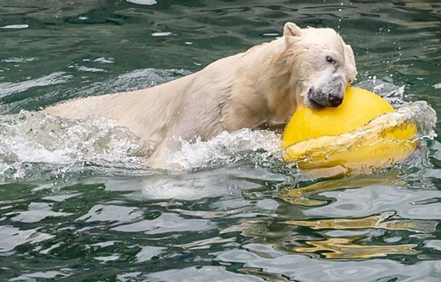 Белым медведям в зоопарке подарили новые игрушки и заказали ремонт вольера
