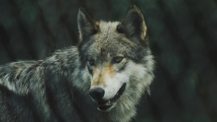 Власти Прикамья предложили отстреливать волков круглый год