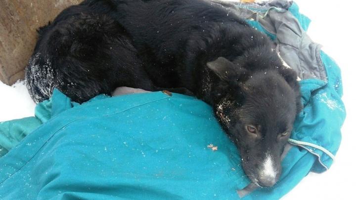 В Прикамье зоозащитники ищут свидетелей убийства щенка