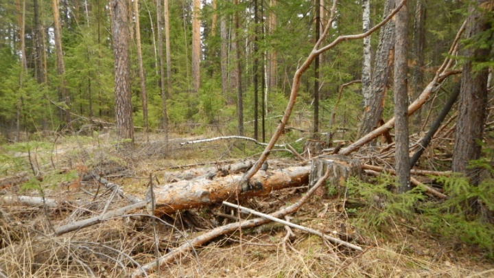 На Урале «черный лесоруб» сменил фамилию и стал блондином, чтобы уйти от наказания