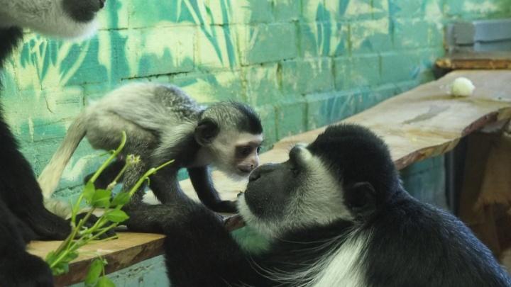 Детеныш обезьянки с умной мордочкой из «Роева ручья» поцеловал папу в нос