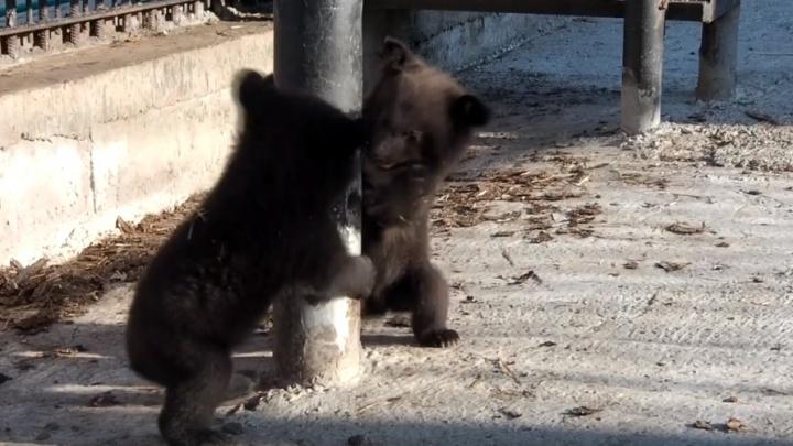Игры неуклюжих новорожденных медвежат засняли на видео в зоопарке