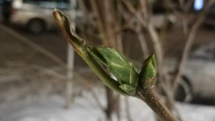 «Ноябрь без морозов»: в центре Новосибирска распустились листья сирени