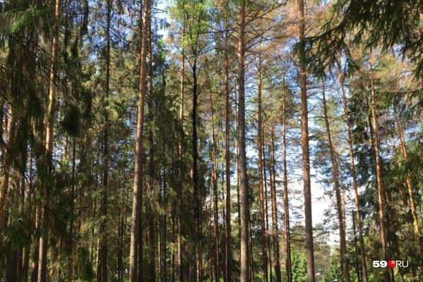 Для строительства больницы планируют вырубить десятки деревьев