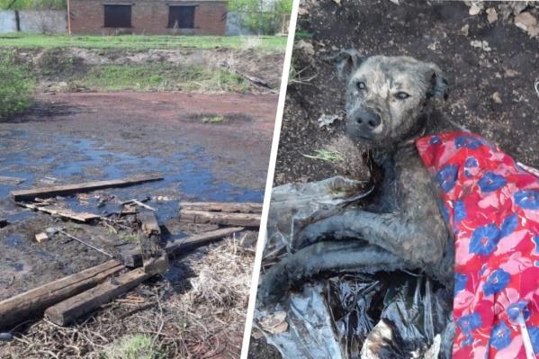 Битумное озеро забирает жизни животных, волонтеры успевают спасти далеко не всех. Этому барбосу повезло