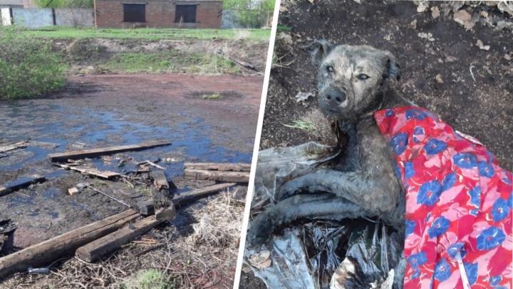 В битумном озере на границе Башкирии с Татарией утонуло стадо коров и бездомные собаки