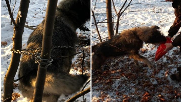 «Уже несколько дней сидит тут»: в Шарташском парке к дереву цепями приковали собаку