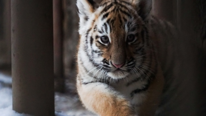 В Пермском зоопарке устроят показательное кормление тигрят