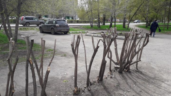«Бессмысленная и беспощадная обрезка»: кустарники по Красноярску превращают в пеньки