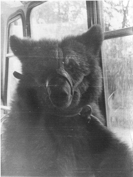 Медведь Бурка в автобусе зоосада. 1975 год<br>