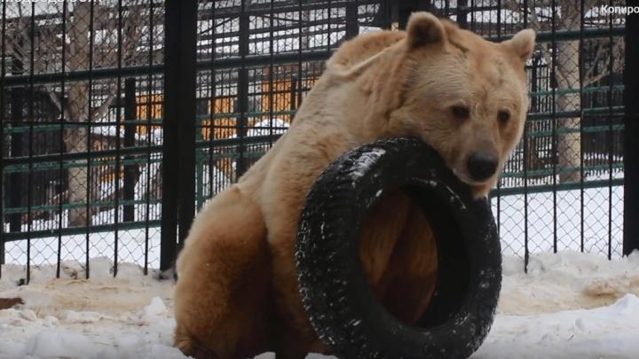 Медведь Памир из «Роева ручья» вышел из спячки из-за оттепели и занялся физкультурой
