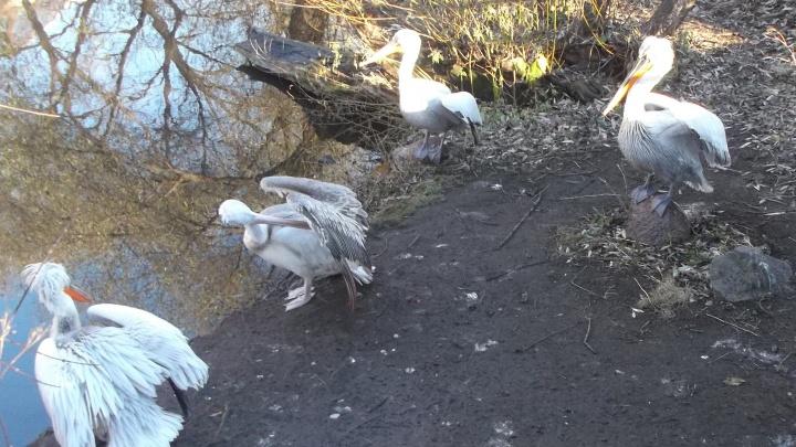 Не долетели до Дагестана: под Новосибирском заметили редких кочующих птиц
