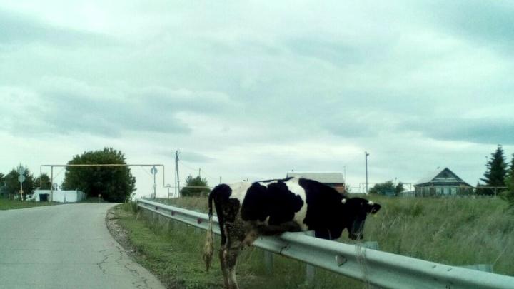 «Одна пара копыт тут, другая — там»: в Самарской области корова застряла на ограждении