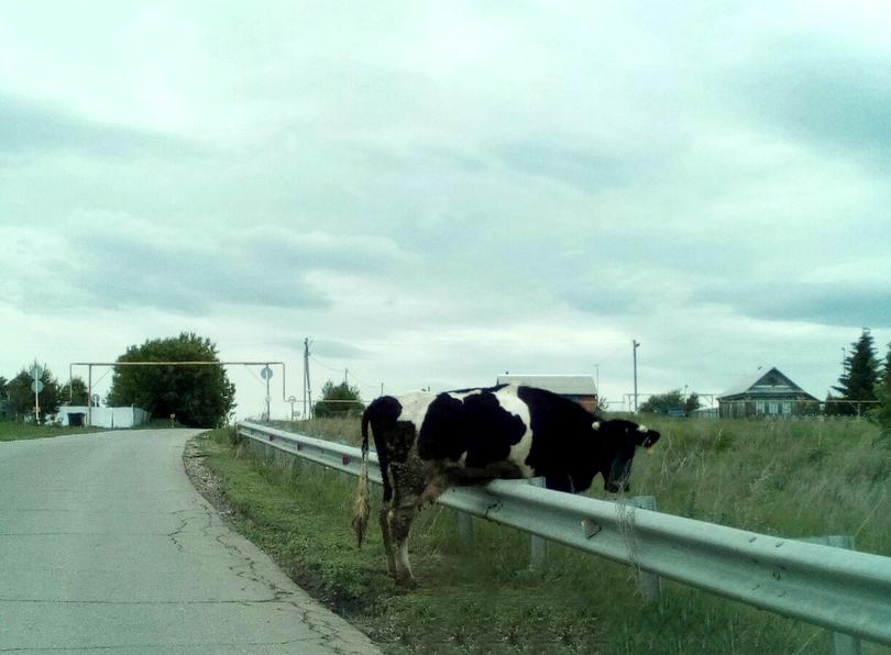 Сейчас сердобольные жители ищут владельца коровы в социальных сетях