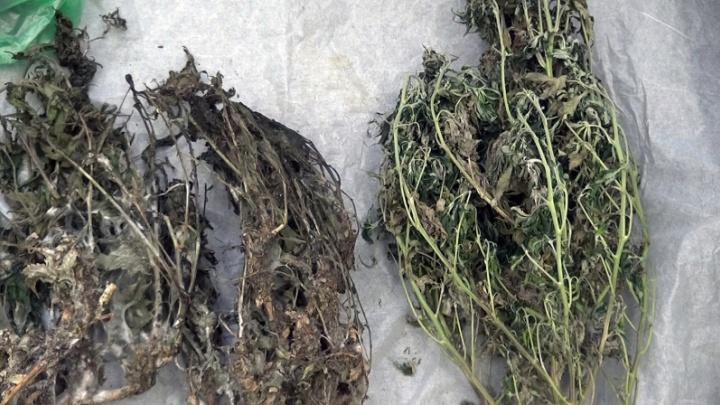 Конопля разрастается: полиция нашла по Ярославской области поля марихуаны