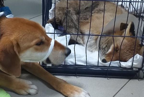 Лисенок Фокс, которого спасали пермские зоозащитники, умер от полученных ран