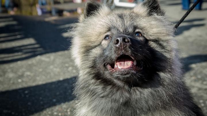«Собака должна быть удобной»: советы курганского кинолога, как выбрать и воспитать щенка