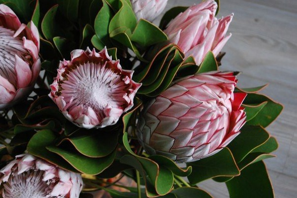 Вот из таких нежных африканских роз состоял один из самых дорогих букетов, сделанных ко Дню cвятого Валентина в Тюмени