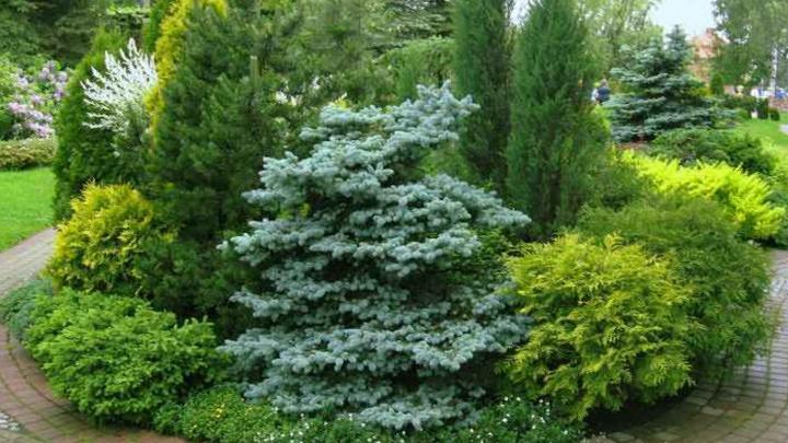 Ландшафтные дизайнеры создают волшебные сады из голубых елей
