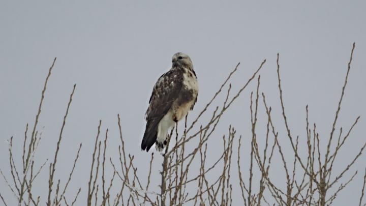 В «Шушенском бору» сфотографировали необычную птицу с «волосатыми» ногами