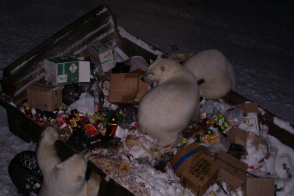 Одной из причин появление белых медведей близ людей называют наличие свалки